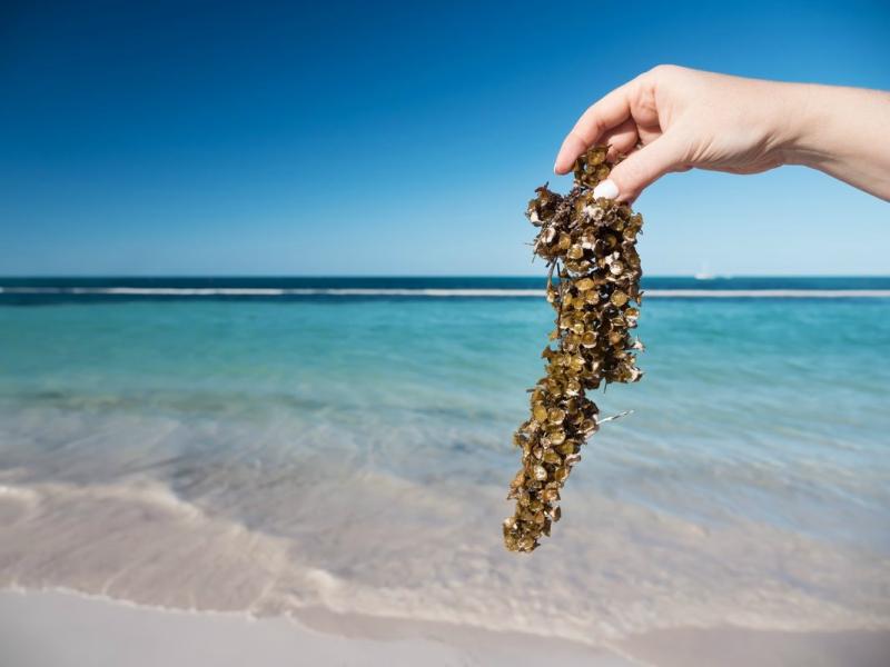 sargazo playa del carmen qué es