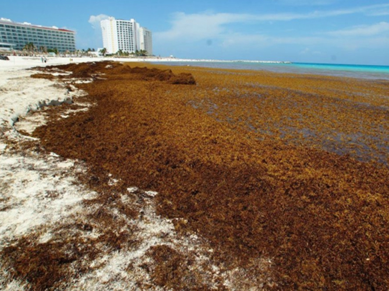 6 Datos sobre el Sargazo Playa del Carmen