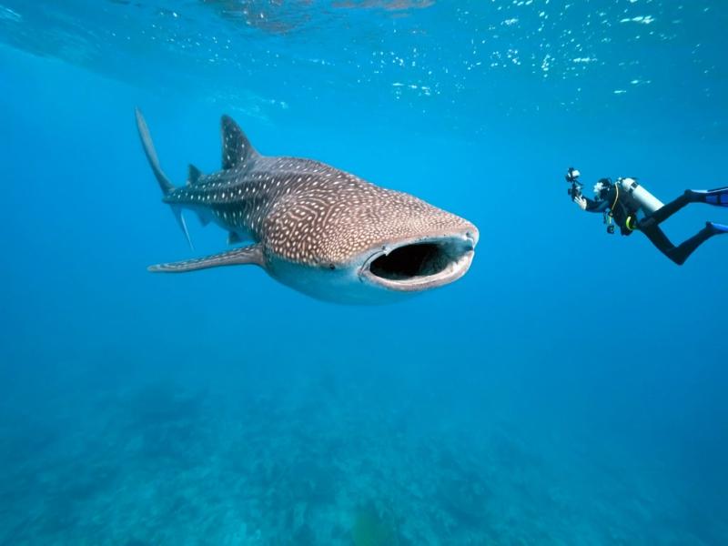 scuba diving playa del carmen tiburon ballena